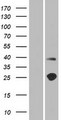 TMEM215 Protein - Western validation with an anti-DDK antibody * L: Control HEK293 lysate R: Over-expression lysate