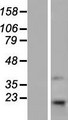TMEM69 Protein - Western validation with an anti-DDK antibody * L: Control HEK293 lysate R: Over-expression lysate