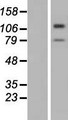 TMTC3 Protein - Western validation with an anti-DDK antibody * L: Control HEK293 lysate R: Over-expression lysate