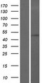 TOM1 Protein - Western validation with an anti-DDK antibody * L: Control HEK293 lysate R: Over-expression lysate