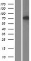 TOP1MT Protein - Western validation with an anti-DDK antibody * L: Control HEK293 lysate R: Over-expression lysate