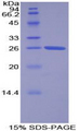 TOR2A Protein - Recombinant Torsin 2A By SDS-PAGE