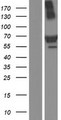TRIM16 Protein - Western validation with an anti-DDK antibody * L: Control HEK293 lysate R: Over-expression lysate