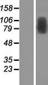 TRMT1L Protein - Western validation with an anti-DDK antibody * L: Control HEK293 lysate R: Over-expression lysate