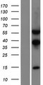 TSEN54 Protein - Western validation with an anti-DDK antibody * L: Control HEK293 lysate R: Over-expression lysate
