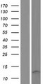TSTD3 Protein - Western validation with an anti-DDK antibody * L: Control HEK293 lysate R: Over-expression lysate