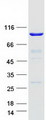 TTC27 Protein - Purified recombinant protein TTC27 was analyzed by SDS-PAGE gel and Coomassie Blue Staining
