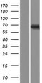 TTC39C Protein - Western validation with an anti-DDK antibody * L: Control HEK293 lysate R: Over-expression lysate