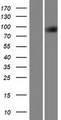 TTLL3 Protein - Western validation with an anti-DDK antibody * L: Control HEK293 lysate R: Over-expression lysate