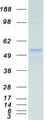 Purified recombinant protein TUBB was analyzed by SDS-PAGE gel and Coomassie Blue Staining