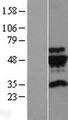 TUBG2 / Tubulin Gamma 2 Protein - Western validation with an anti-DDK antibody * L: Control HEK293 lysate R: Over-expression lysate