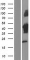 TUFT1 Protein - Western validation with an anti-DDK antibody * L: Control HEK293 lysate R: Over-expression lysate