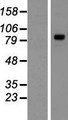 TYW1 Protein - Western validation with an anti-DDK antibody * L: Control HEK293 lysate R: Over-expression lysate