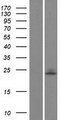 UBE2E1 / UBCH6 Protein - Western validation with an anti-DDK antibody * L: Control HEK293 lysate R: Over-expression lysate