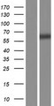 UCKL1 Protein - Western validation with an anti-DDK antibody * L: Control HEK293 lysate R: Over-expression lysate