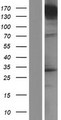 UNC13A Protein - Western validation with an anti-DDK antibody * L: Control HEK293 lysate R: Over-expression lysate