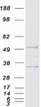 UNC5CL Protein - Purified recombinant protein UNC5CL was analyzed by SDS-PAGE gel and Coomassie Blue Staining