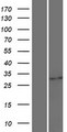 UPLP Protein - Western validation with an anti-DDK antibody * L: Control HEK293 lysate R: Over-expression lysate