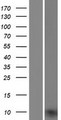 UQCRQ Protein - Western validation with an anti-DDK antibody * L: Control HEK293 lysate R: Over-expression lysate