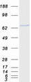 USP39 Protein - Purified recombinant protein USP39 was analyzed by SDS-PAGE gel and Coomassie Blue Staining