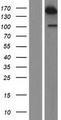USP47 Protein - Western validation with an anti-DDK antibody * L: Control HEK293 lysate R: Over-expression lysate
