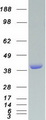 Purified recombinant protein VASP was analyzed by SDS-PAGE gel and Coomassie Blue Staining
