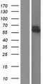 VIPAS39 Protein - Western validation with an anti-DDK antibody * L: Control HEK293 lysate R: Over-expression lysate