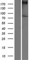VPS13A / Chorein Protein - Western validation with an anti-DDK antibody * L: Control HEK293 lysate R: Over-expression lysate