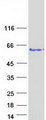 VPS72 Protein - Purified recombinant protein VPS72 was analyzed by SDS-PAGE gel and Coomassie Blue Staining