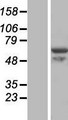 VWA9 / C15orf44 Protein - Western validation with an anti-DDK antibody * L: Control HEK293 lysate R: Over-expression lysate