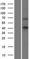 WBP4 Protein - Western validation with an anti-DDK antibody * L: Control HEK293 lysate R: Over-expression lysate