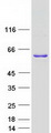 WBP4 Protein - Purified recombinant protein WBP4 was analyzed by SDS-PAGE gel and Coomassie Blue Staining