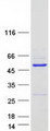 Purified recombinant protein WDR18 was analyzed by SDS-PAGE gel and Coomassie Blue Staining