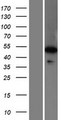WDR41 Protein - Western validation with an anti-DDK antibody * L: Control HEK293 lysate R: Over-expression lysate