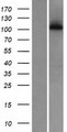 WDR63 Protein - Western validation with an anti-DDK antibody * L: Control HEK293 lysate R: Over-expression lysate