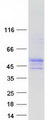 Purified recombinant protein WRAP73 was analyzed by SDS-PAGE gel and Coomassie Blue Staining