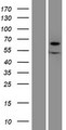 XYLB Protein - Western validation with an anti-DDK antibody * L: Control HEK293 lysate R: Over-expression lysate