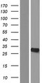 YRDC Protein - Western validation with an anti-DDK antibody * L: Control HEK293 lysate R: Over-expression lysate