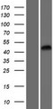 ZCCHC18 Protein - Western validation with an anti-DDK antibody * L: Control HEK293 lysate R: Over-expression lysate