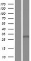 ZDHHC22 Protein - Western validation with an anti-DDK antibody * L: Control HEK293 lysate R: Over-expression lysate