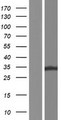 ZFAND1 Protein - Western validation with an anti-DDK antibody * L: Control HEK293 lysate R: Over-expression lysate