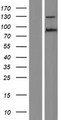ZFX Protein - Western validation with an anti-DDK antibody * L: Control HEK293 lysate R: Over-expression lysate