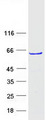 ZNF213 Protein - Purified recombinant protein ZNF213 was analyzed by SDS-PAGE gel and Coomassie Blue Staining