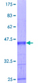 ZNF239 Protein - 12.5% SDS-PAGE Stained with Coomassie Blue.