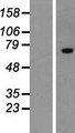 ZNF264 Protein - Western validation with an anti-DDK antibody * L: Control HEK293 lysate R: Over-expression lysate