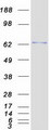 ZNF394 Protein - Purified recombinant protein ZNF394 was analyzed by SDS-PAGE gel and Coomassie Blue Staining