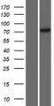 ZNF433 Protein - Western validation with an anti-DDK antibody * L: Control HEK293 lysate R: Over-expression lysate