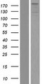 ZNF451 Protein - Western validation with an anti-DDK antibody * L: Control HEK293 lysate R: Over-expression lysate