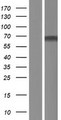ZNF498 Protein - Western validation with an anti-DDK antibody * L: Control HEK293 lysate R: Over-expression lysate