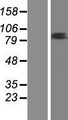 ZNF585B Protein - Western validation with an anti-DDK antibody * L: Control HEK293 lysate R: Over-expression lysate